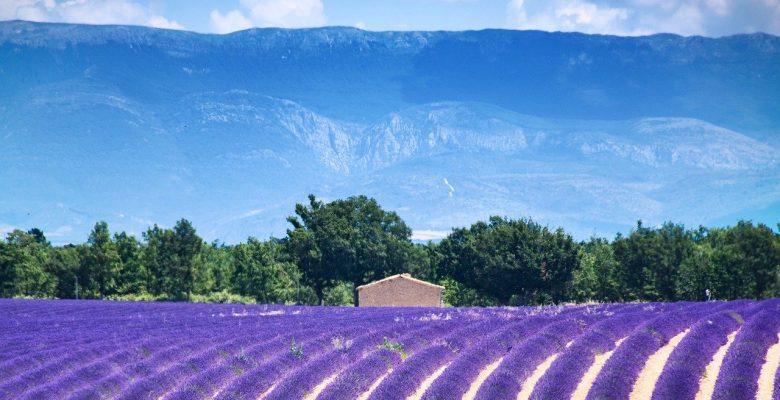 vue d'un champ de lavande en Provence